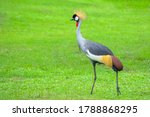 Grey Crowned Crane  Balearica...
