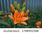 orange lilies in green grass in ... | Shutterstock . vector #1788902588
