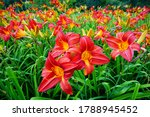 Flowering Day Lily Flowers ...