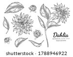 Set Of Dahlia Flower And Leaf...