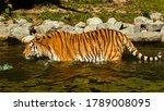 Beautiful Tiger Walking In A...