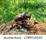 Asiatic Rhinoceros Beetle ...