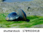 Grooved Carpet Shell  Or...