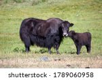 Yak Cow And A Calf Communicate...