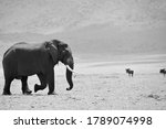 Adult male elephant walking...