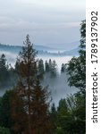 Morning Foggy Pine Forests On...