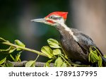 "A Pileated Woodpecker ""..."