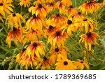 Flower of rudbeckia fulgida ...