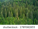 Alpine Spruce Forest On A Hill...