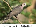 A Red Eyed Dove  Streptopelia...