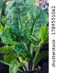 Spinach Plant Growing In The...