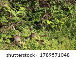 Baby Turkeys In Green Bushes
