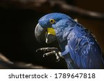 The Blue Macaw Ara Hyacinth...
