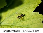 Isolated Wasp On A Green Leaf ...