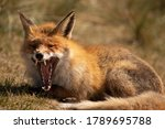 Red Fox Laying And Yawning...