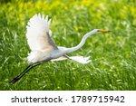 Great Egret In Flight Over...