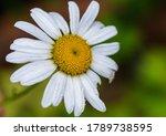 A Macro Shot Of A White Oxeye...