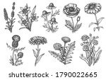 wild flower. natural herb and...   Shutterstock .eps vector #1790022665