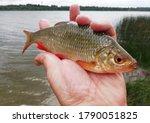 Caught River Fish Rudd In The...