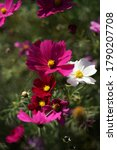 Various Color Of Cosmos In Full ...
