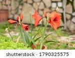 Amaryllis Red Pearl Hippeastrum ...