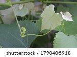 Grape Leaf And Tendrils...