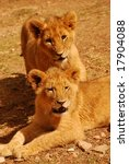 two cute african lion cubs... | Shutterstock . vector #17904088