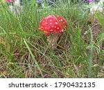 Red Fly Agaric In The Grass...