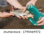 Freshly Caught Fish Bream...