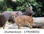 Nayala African Horned Antelope...
