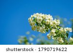 Jasmine White Flowers...