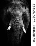Black And White Face Elephant....
