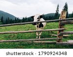 Domestic Cow Stands Behind A...