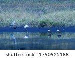 Grey Heron And Two Egyptian...