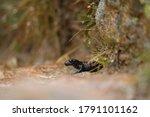 An Alpine Salamander In The Rain