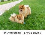Pomeranian Spitz Playing On The ...