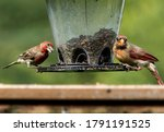 A House Finch And Northern...