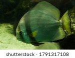 The Orbicular Batfish  Platax...