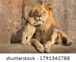 The Baby Lion Is Caressing The...