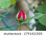 Small Pink Rose Bud Grow In...