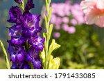 Gladiolus  Sword Lily  Purple...
