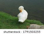 A White Duck Preening Itself O...