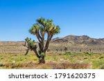 Joshua Tree In A Field Of...