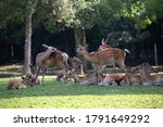 Small photo of Nara, Japan, August 6, 2020 : Wild Sika deers in Nara Park, Japan. Deer are symbol of Nara's greatest tourist attraction.