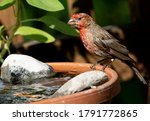 Red Headed House Finch On The...