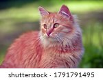 Beautiful Red Fluffy Young Cat...