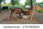 Cattle Eating Fodder In Fodder...