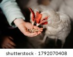 Hand Feeding Chickens At A...