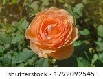 Orange  Rose Lady Of Shalott ...