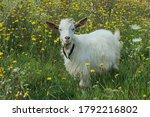 White goat outdoors. goat...